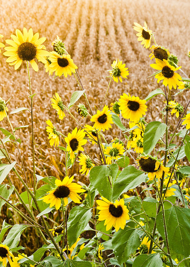 Sunflower Fields Photograph  - Sunflower Fields Fine Art Print
