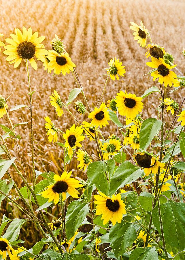 Sunflower Fields Photograph