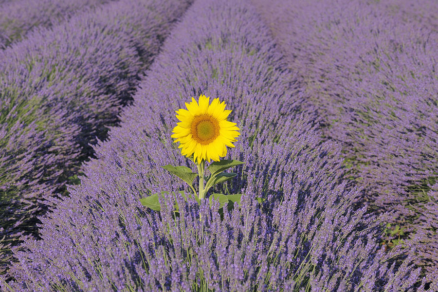 Sunflower in english lavender field valensole valensole for Haute in english