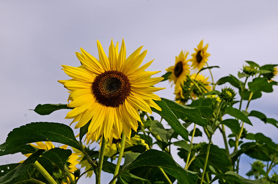 Sunflower In The Setting Sun Photograph