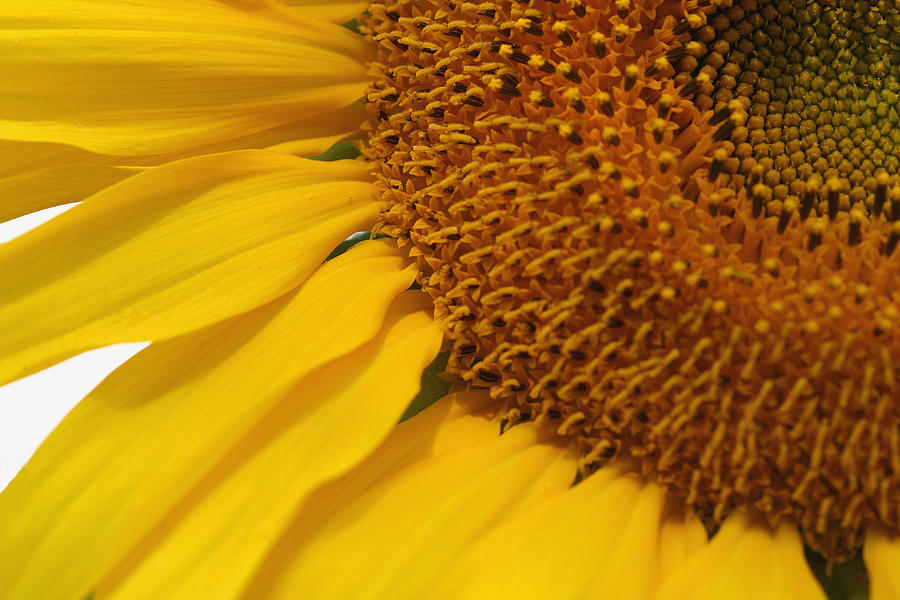 Photograph Of A Sunflower  Photograph - Sunflower by Joan Powell