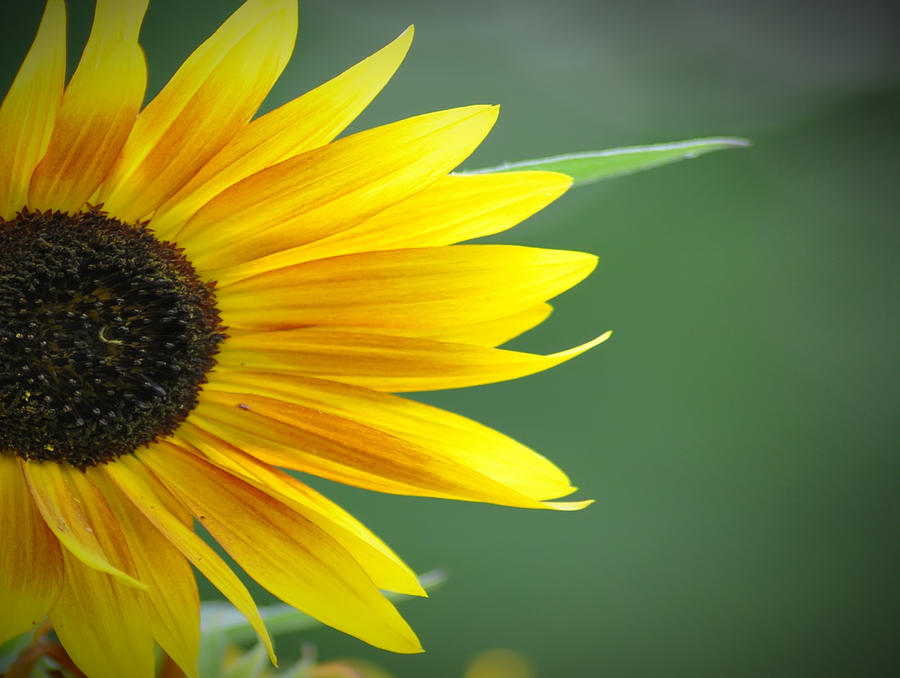 Sunflower Morning Photograph