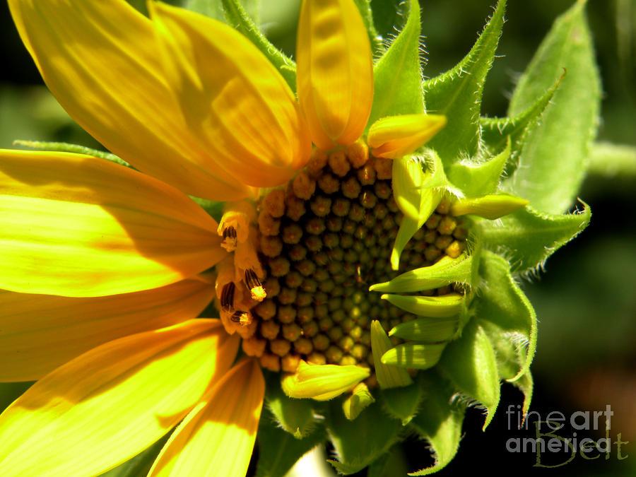 Sunflower No. 2 Photograph