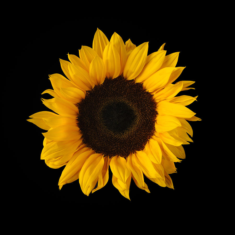 sunflower black single women Hottest sunflower tattoo ideas for women  it has a single circle going through the intersection,  sunflower tattoo black and white  our mom and daughters tattoo.