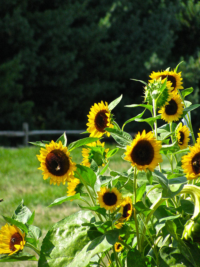 Sunflower Patch Photograph