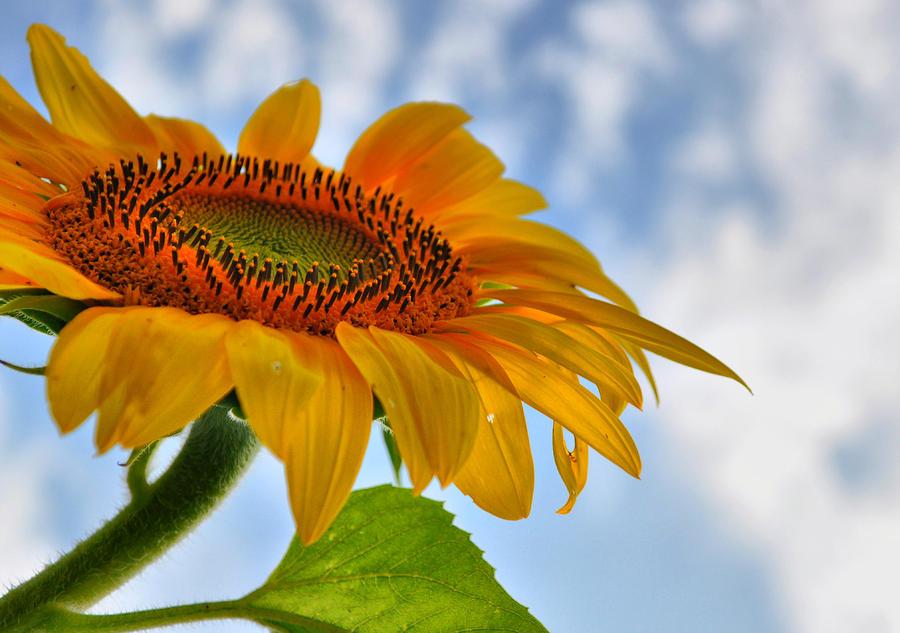 Sunflower Photograph - Sunflower Prayer by Emily Stauring