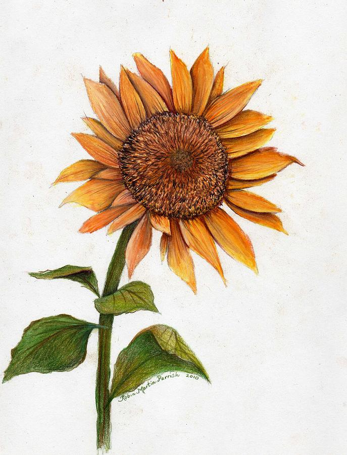 The gallery for --> Sunflower Sketches