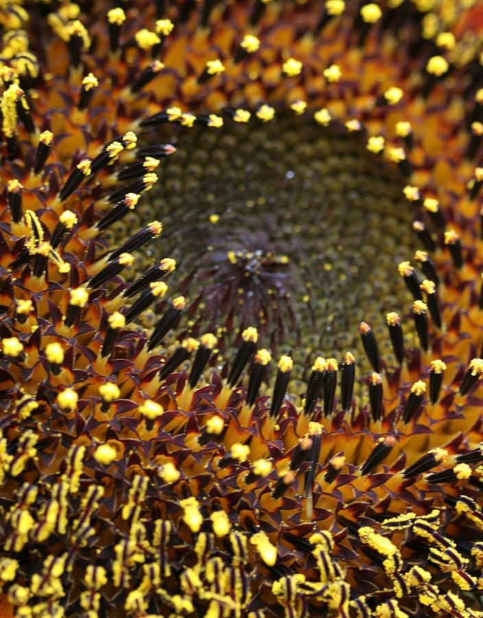 Sunflower Seeds Photograph