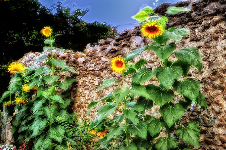 Sunflower Wall Photograph  - Sunflower Wall Fine Art Print
