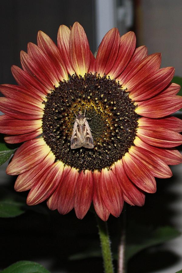 Sunflower With Moth At Night Photograph  - Sunflower With Moth At Night Fine Art Print