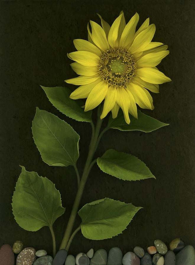Sunflower With Rocks Photograph
