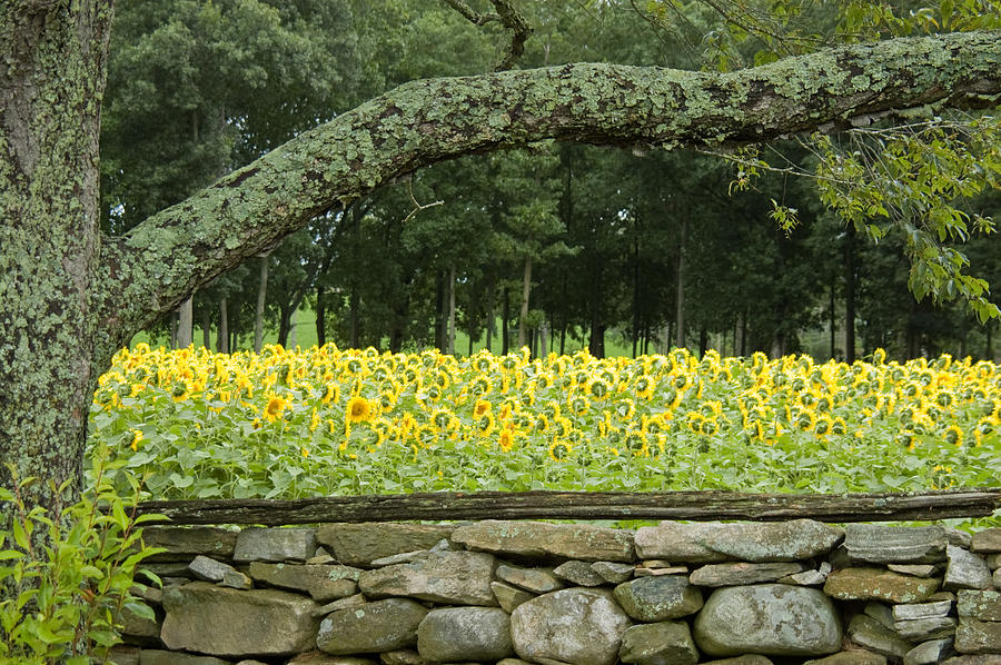 Sunflowers 1 Photograph