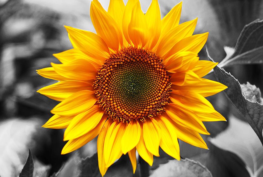 Photography Photograph - Sunflowers 3 by Sumit Mehndiratta