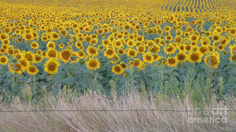 Sunflowers Behind Barbed Wire Photograph