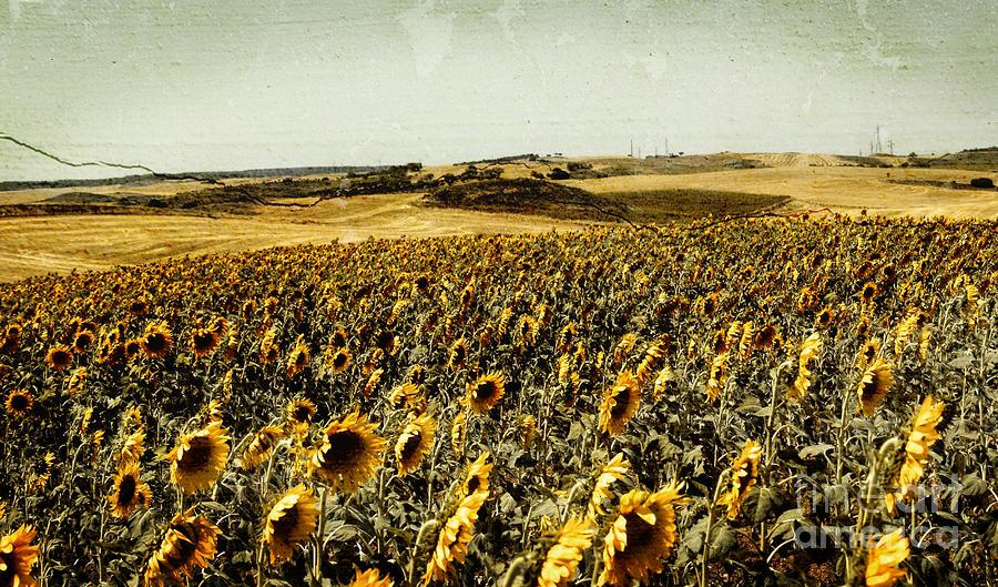 Sunflowers Field Photograph - Sunflowers Field  by Anja Freak