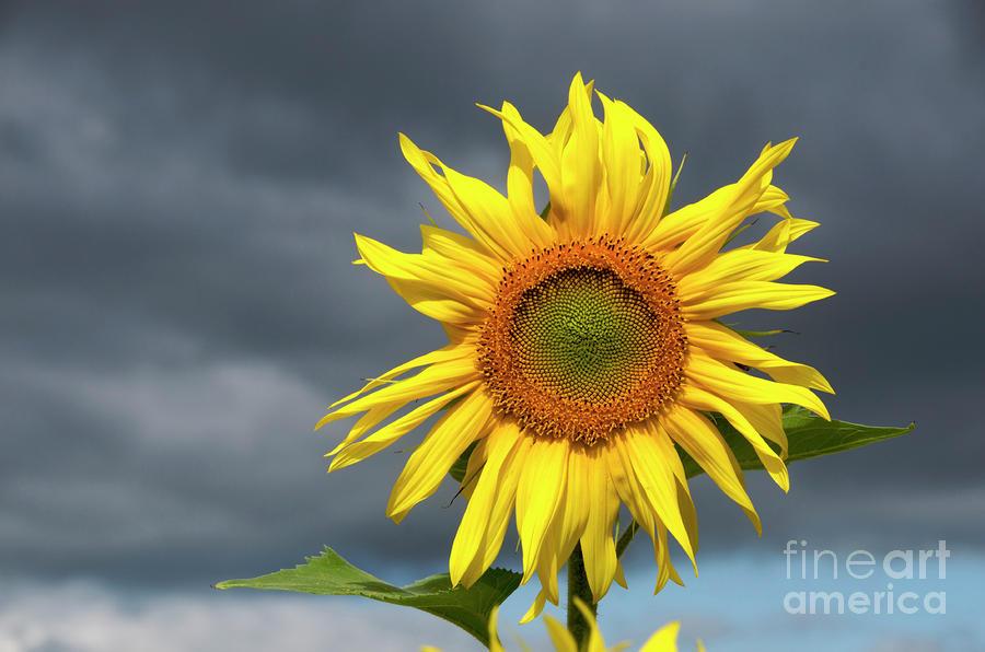 Sunflowers Helianthus Annuus Photograph