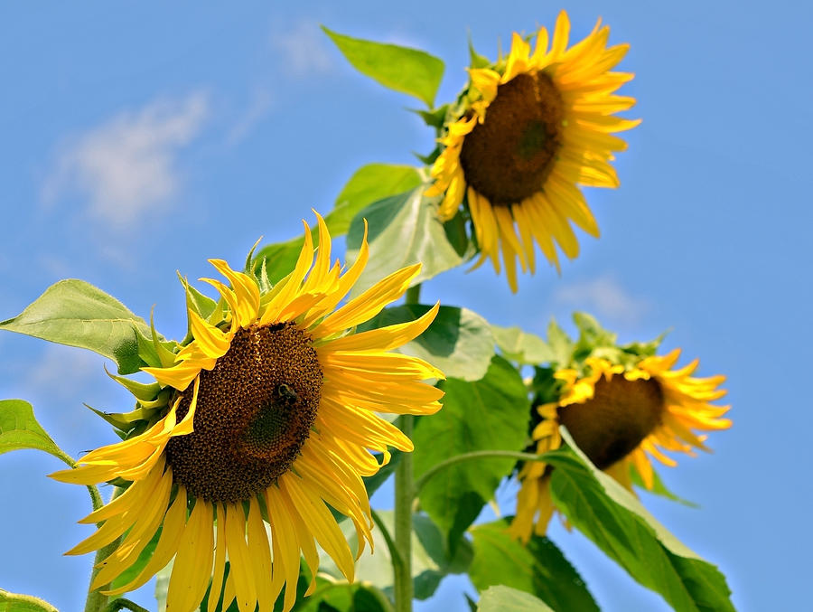 Sunflowers On Blue Photograph