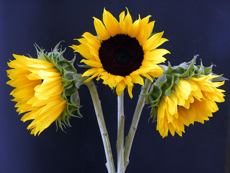 Sunflowers Three Photograph  - Sunflowers Three Fine Art Print