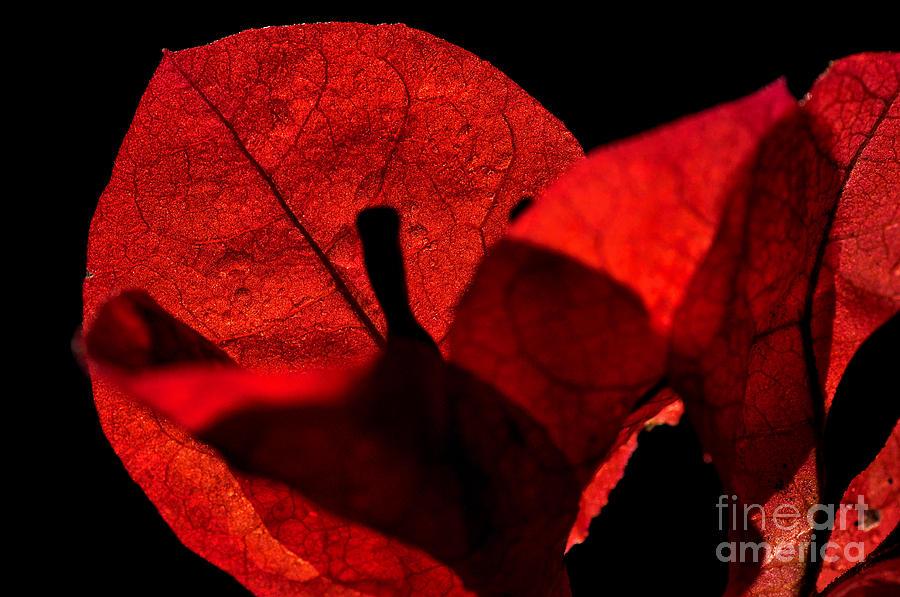 Sunlight Behind The Petals Photograph