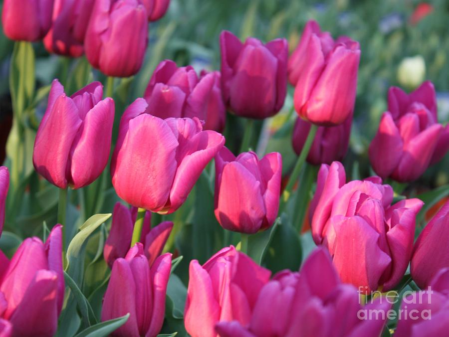 Sunlight On Pink Tulips Photograph