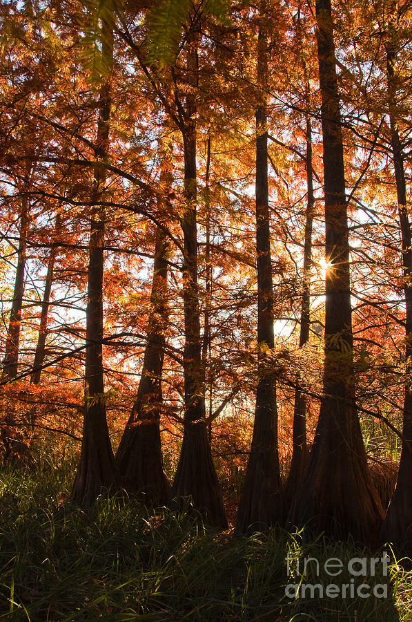 Sunlit Trees Photograph  - Sunlit Trees Fine Art Print