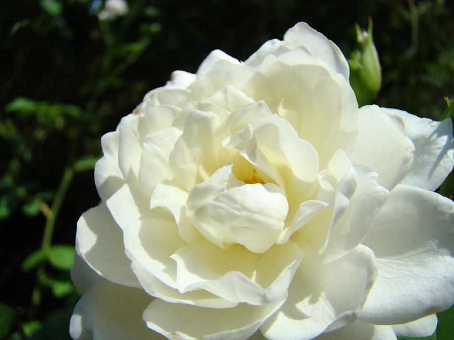 Sunlit White Rose Art Print Floral Giclle Print Baslee Troutman  Photograph