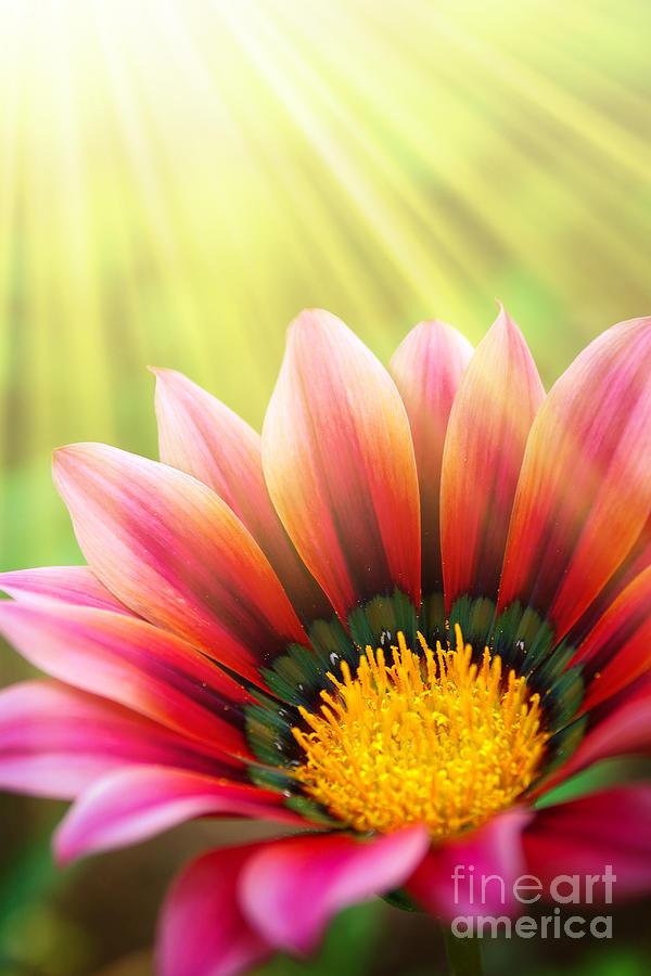 Sunny Daisy Photograph
