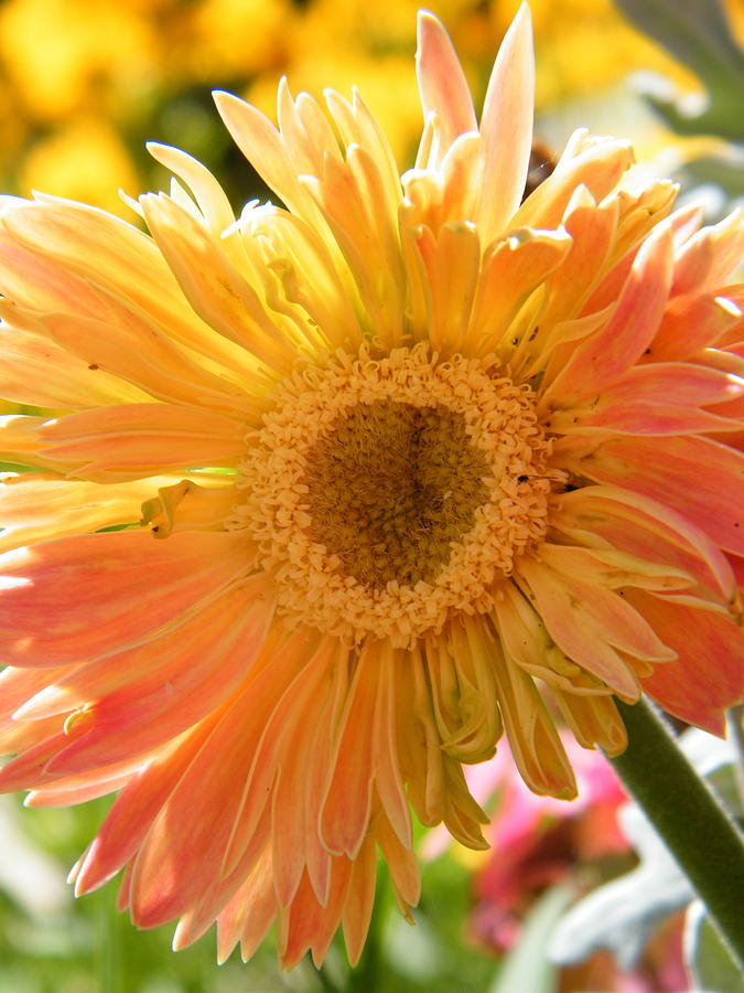 Sunny Orange Gerbera Daisy Photograph