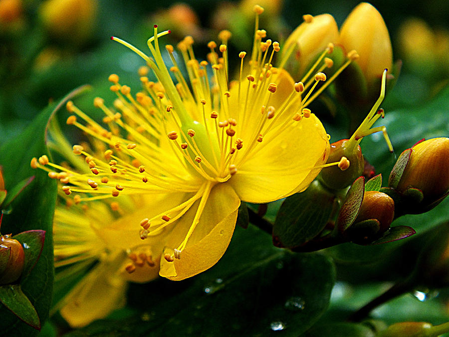 Hypericum Calycinum Photograph - Sunny Yellow by Lorainek Photographs