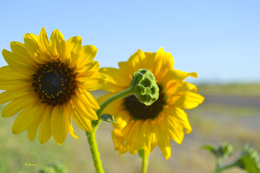 Sunflowers Photograph - Sunnyside Up by Teresa Dixon