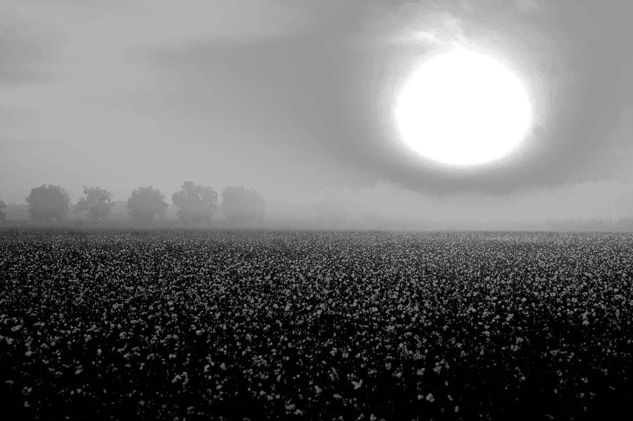 Sunrise And The Cotton Field Bw Digital Art  - Sunrise And The Cotton Field Bw Fine Art Print