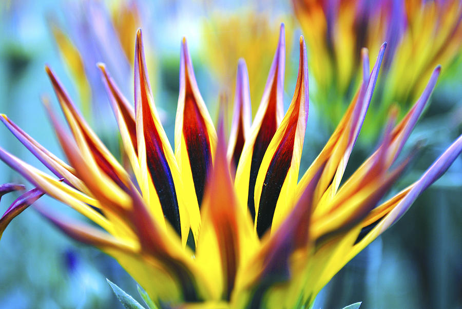Sunrise Flower Photograph  - Sunrise Flower Fine Art Print