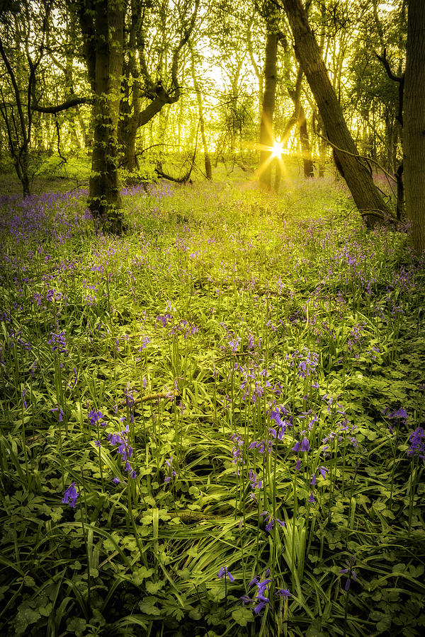 Sunrise In Bluebell Woods Photograph  - Sunrise In Bluebell Woods Fine Art Print