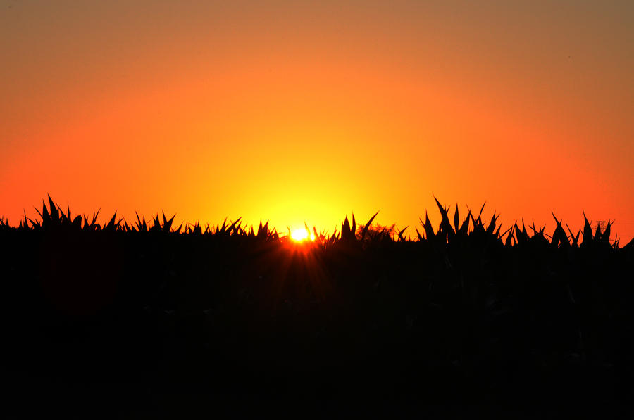Sunrise Over Corn Field Photograph