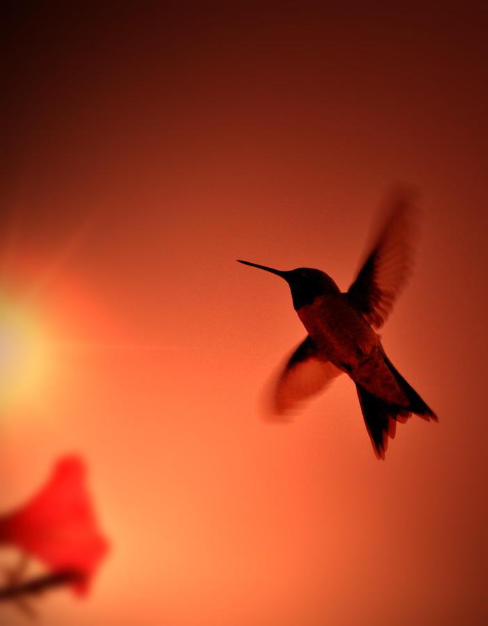 Sunset Hummingbird Photograph  - Sunset Hummingbird Fine Art Print