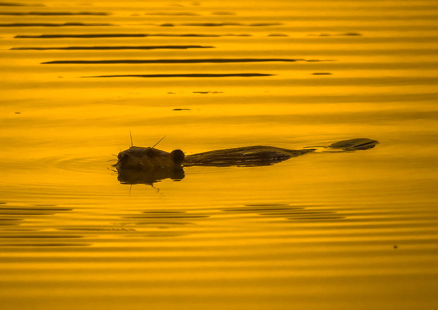 Sunset Muskrat Photograph