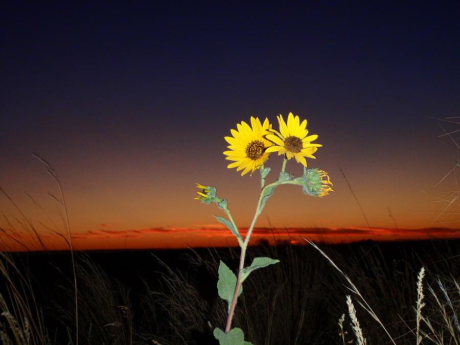 Sunset Sunflower Photograph