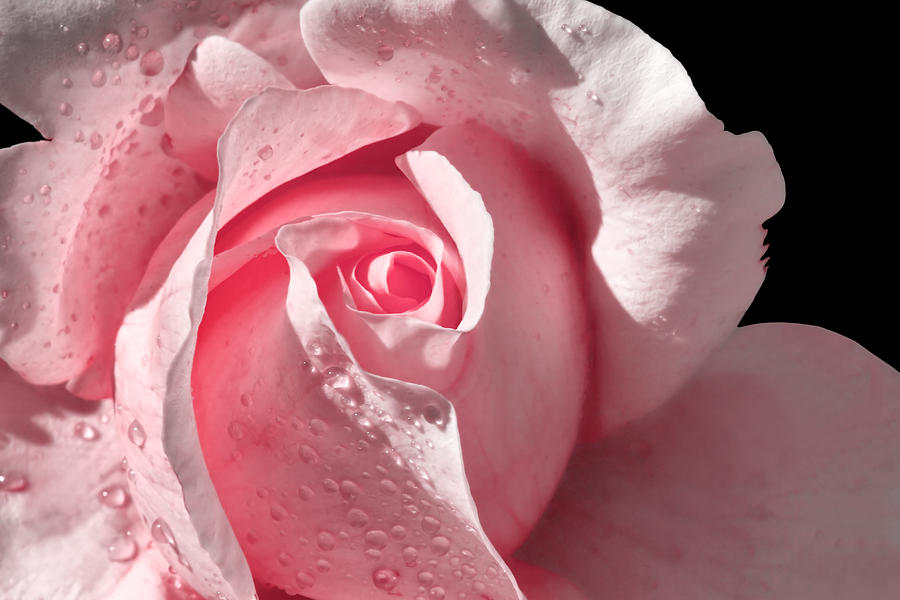 Supple Pink Rose Dipped In Dew Photograph