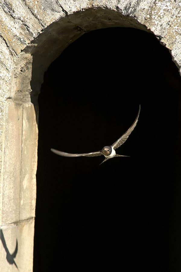 Swallow In Flight Photograph
