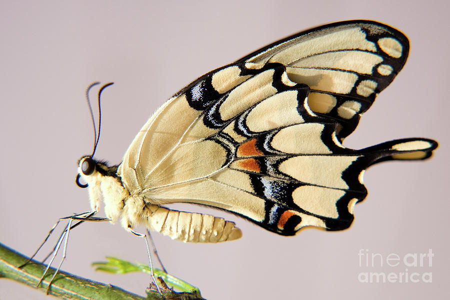 Swallowtail Butterfly Photograph  - Swallowtail Butterfly Fine Art Print