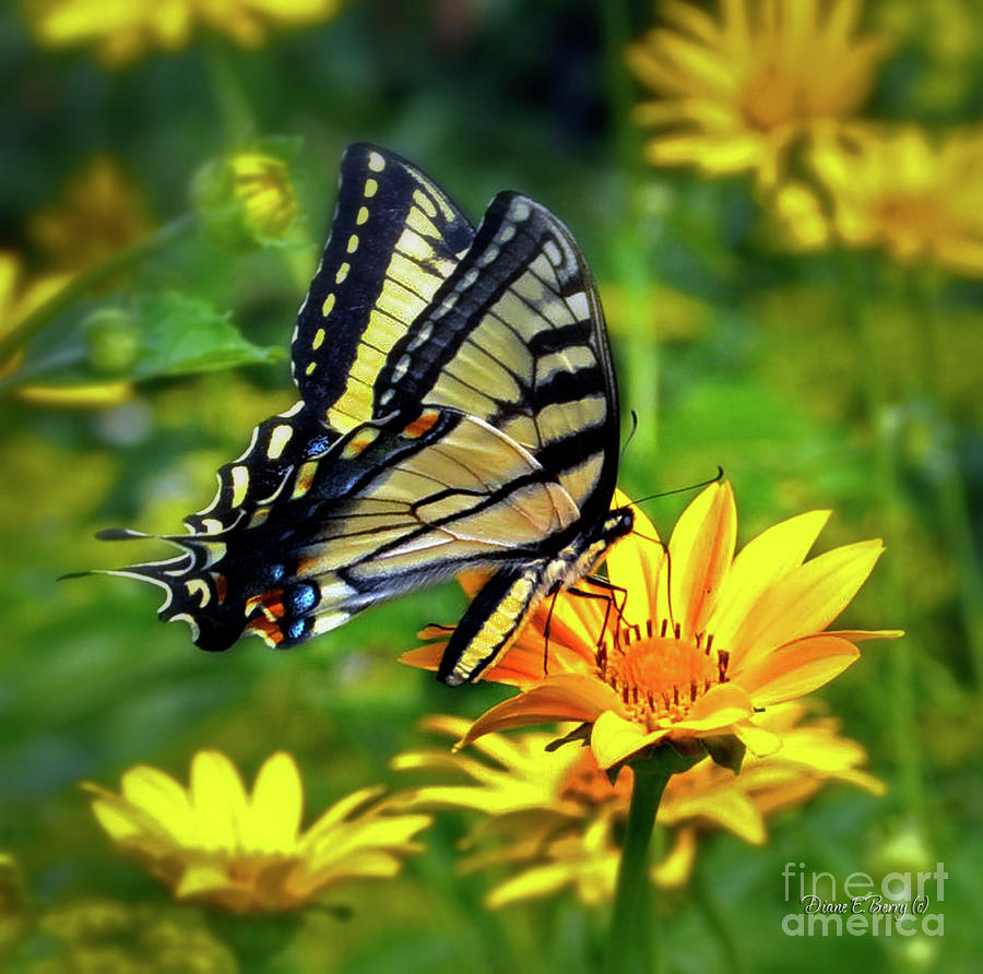 Swallowtail Dance Photograph  - Swallowtail Dance Fine Art Print