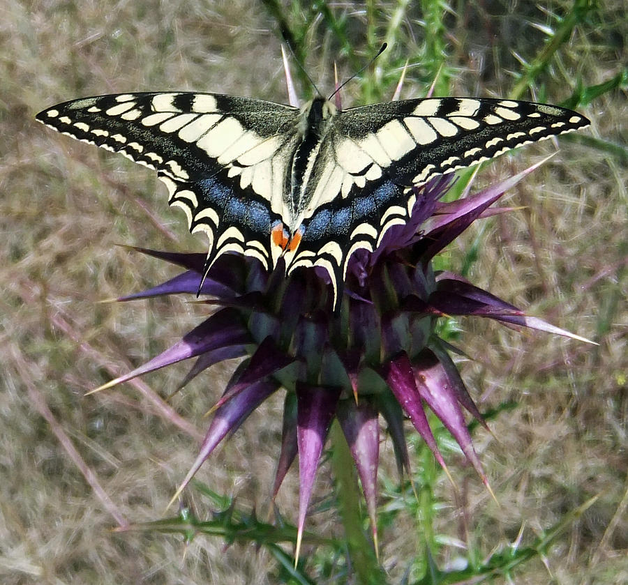 Swallowtail Pyrography  - Swallowtail Fine Art Print