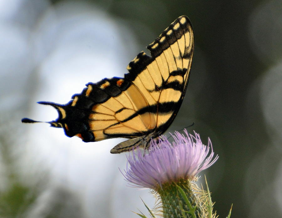 Butterfly Photograph - Swallowtail by Marty Koch