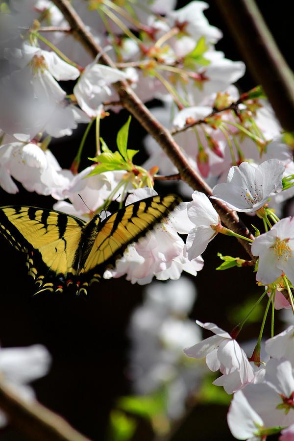 Swallowtail Photograph