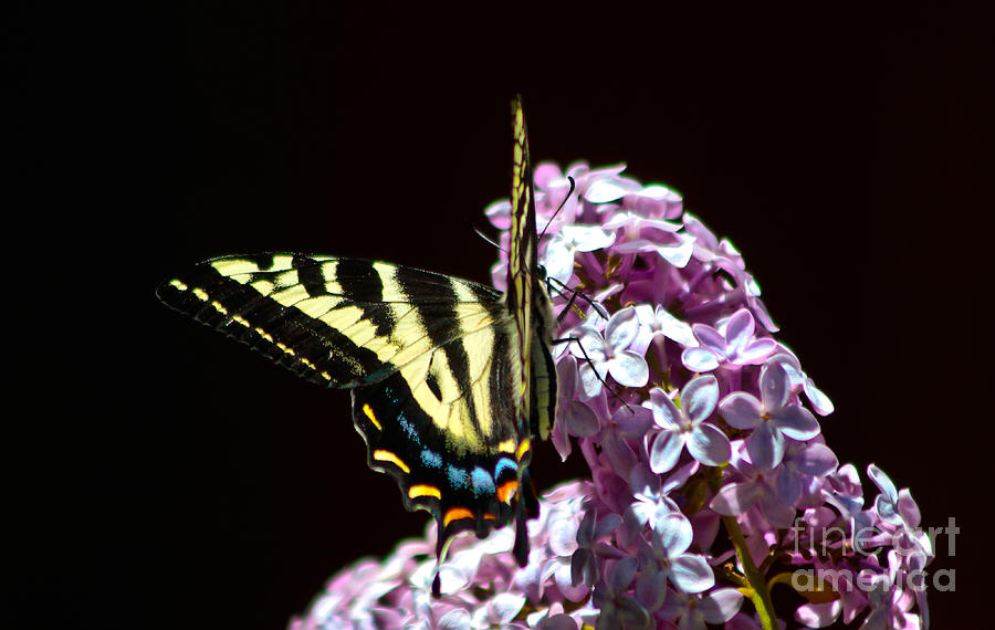Two-tailed Swallowtail Butterfly Photograph - Swallowtail On Lilac 3 by Mitch Shindelbower