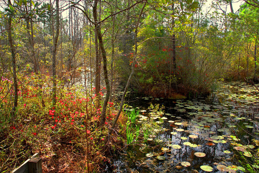 Swamps In Sc Photograph