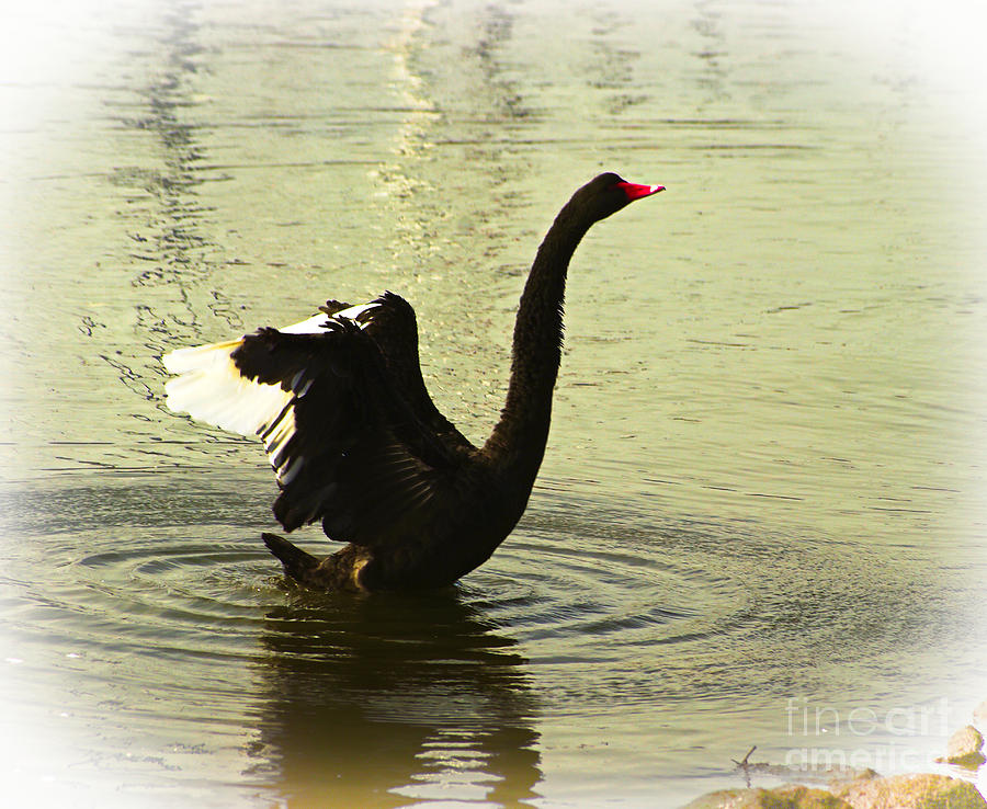 Swan Dance 3 Photograph  - Swan Dance 3 Fine Art Print