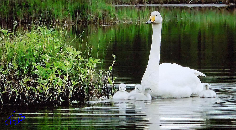 Swan Family Late Summer Photograph  - Swan Family Late Summer Fine Art Print