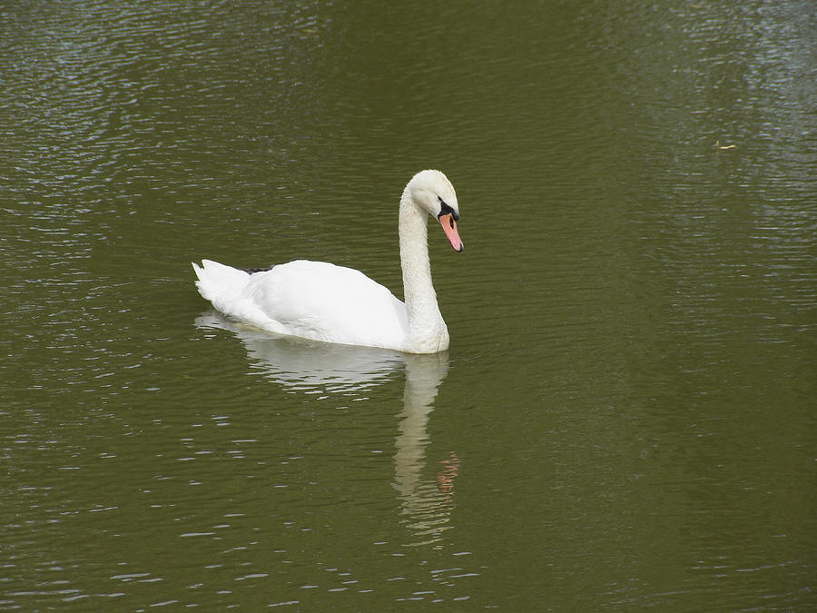 Swan Looking At Reflection Photograph