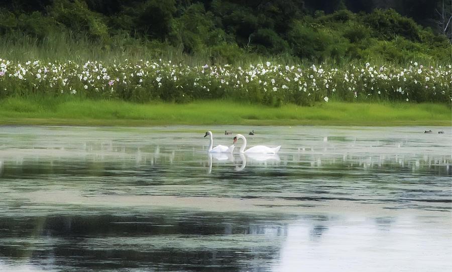 Swan Pond Photograph